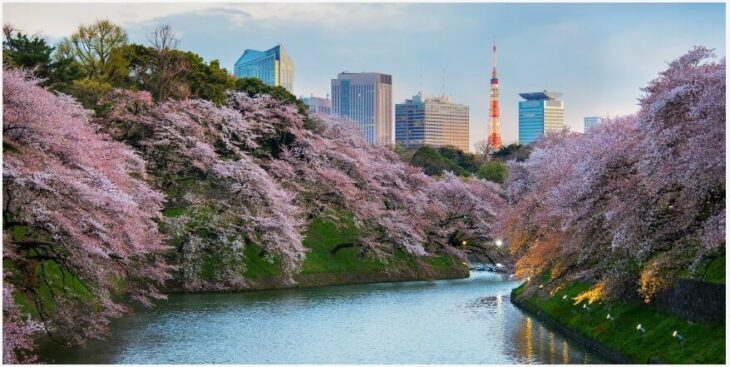 A guide to the Japanese cherry blossom festival