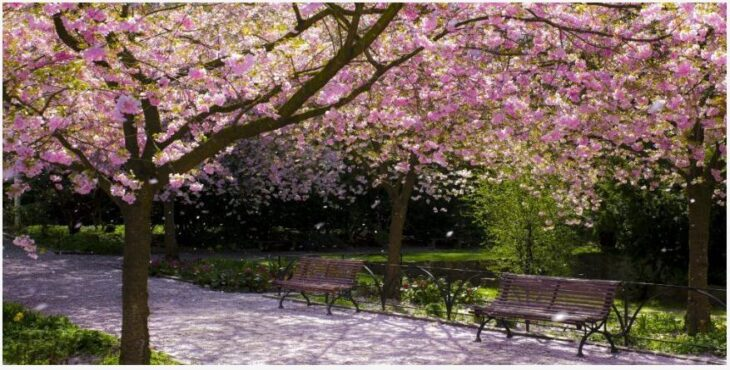 What is a Japanese Cherry Blossom Festival